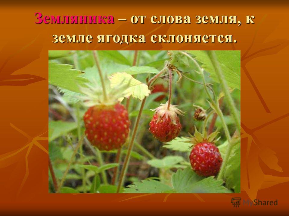 Земляника – от слова земля, к земле ягодка склоняется.