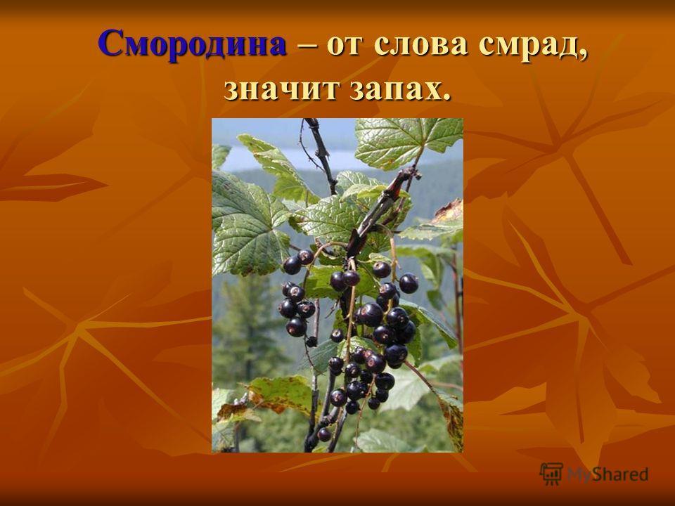 Смородина – от слова смрад, значит запах. Смородина – от слова смрад, значит запах.