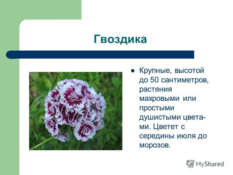 Гвоздика Крупные, высотой до 50 сантиметров, растения махровыми или простыми душистыми цвета- ми. Цветет с середины июля до морозов.
