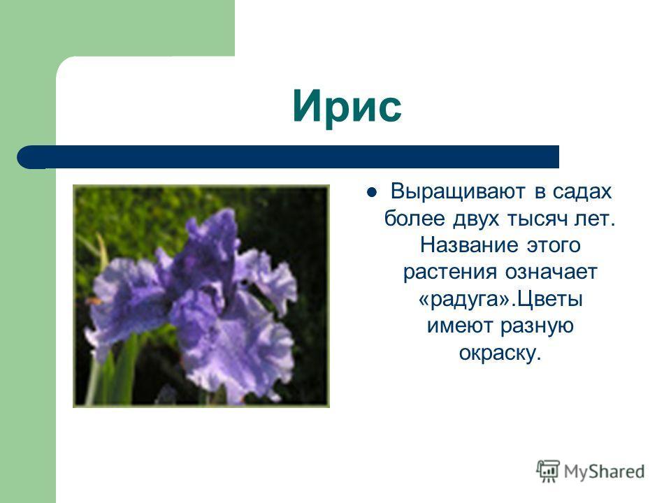 Ирис Выращивают в садах более двух тысяч лет. Название этого растения означает «радуга».Цветы имеют разную окраску.