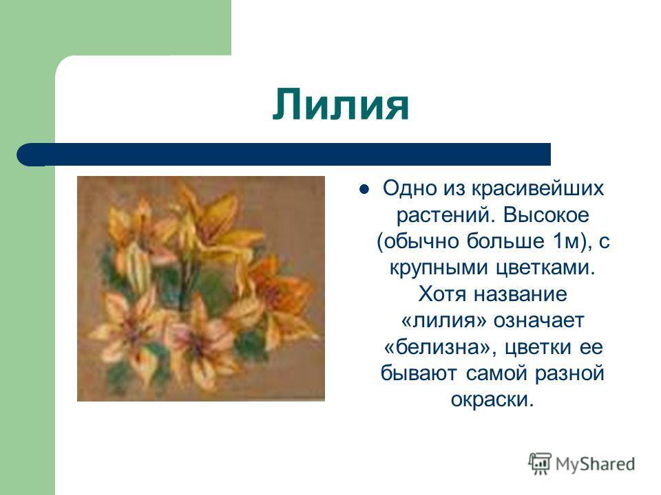 Лилия Одно из красивейших растений. Высокое (обычно больше 1м), с крупными цветками. Хотя название «лилия» означает «белизна», цветки ее бывают самой разной окраски.