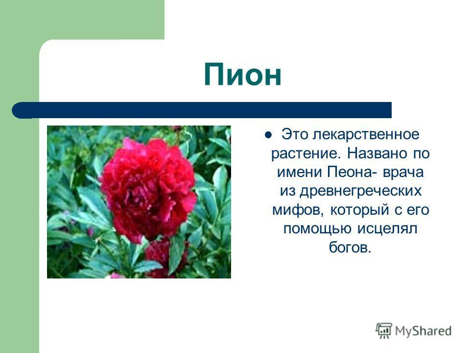 Пион Это лекарственное растение. Названо по имени Пеона- врача из древнегреческих мифов, который с его помощью исцелял богов.