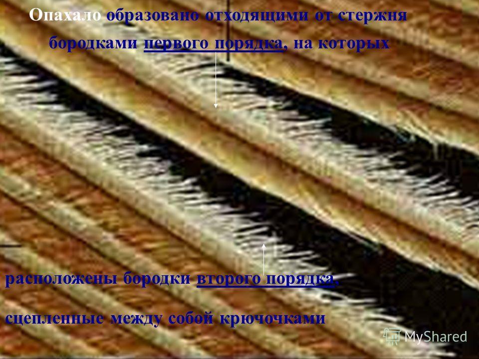 Опахало образовано отходящими от стержня бородками первого порядка, на которых расположены бородки второго порядка, сцепленные между собой крючочками