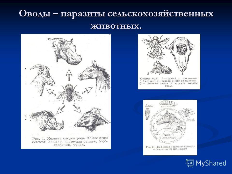Оводы – паразиты сельскохозяйственных животных.