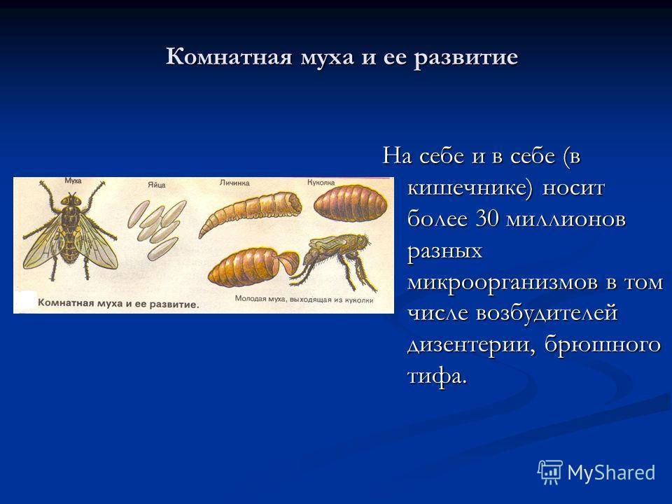 Комнатная муха и ее развитие На себе и в себе (в кишечнике) носит более 30 миллионов разных микроорганизмов в том числе возбудителей дизентерии, брюшного тифа.