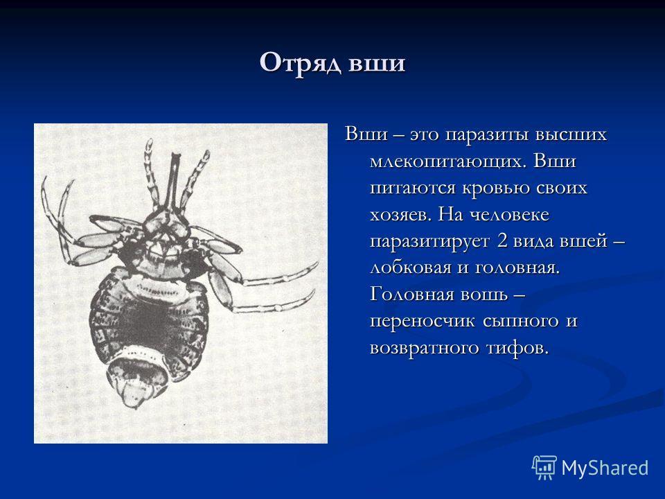 Отряд вши Вши – это паразиты высших млекопитающих. Вши питаются кровью своих хозяев. На человеке паразитирует 2 вида вшей – лобковая и головная. Головная вошь – переносчик сыпного и возвратного тифов.