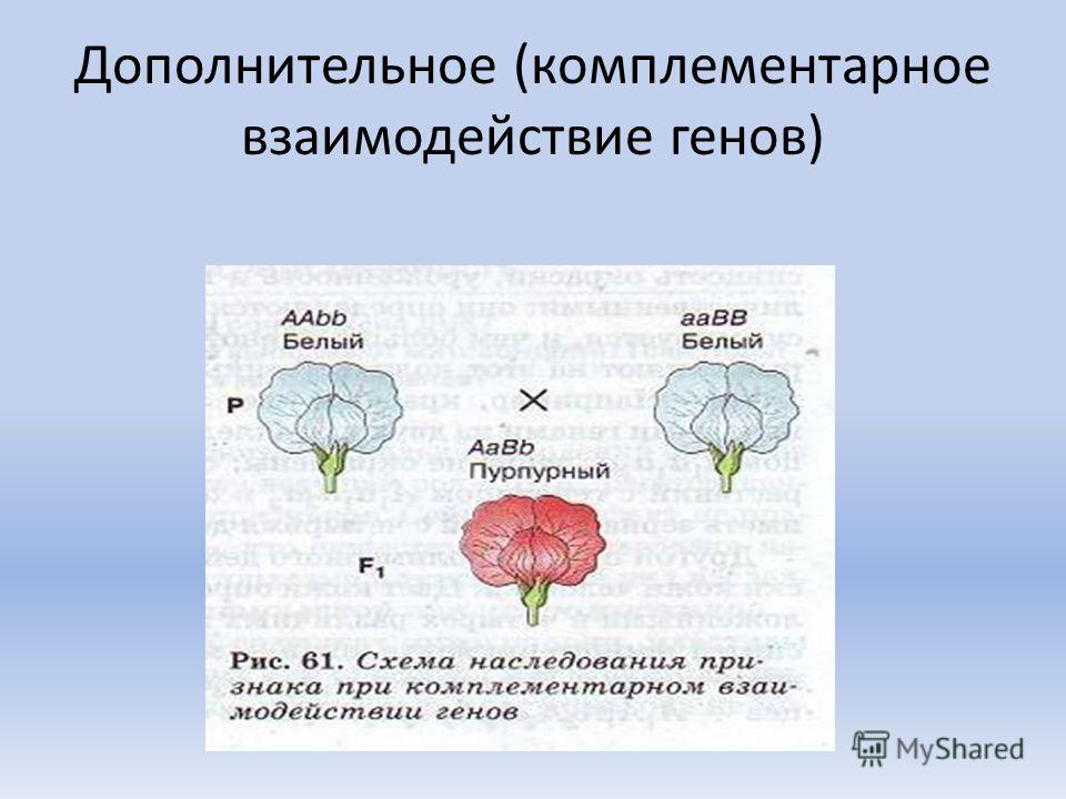 Дополнительное (комплементарное взаимодействие генов)