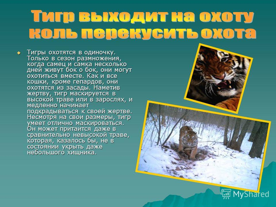 Тигры охотятся в одиночку. Только в сезон размножения, когда самец и самка несколько дней живут бок о бок, они могут охотиться вместе. Как и все кошки, кроме гепардов, они охотятся из засады. Наметив жертву, тигр маскируется в высокой траве или в зар