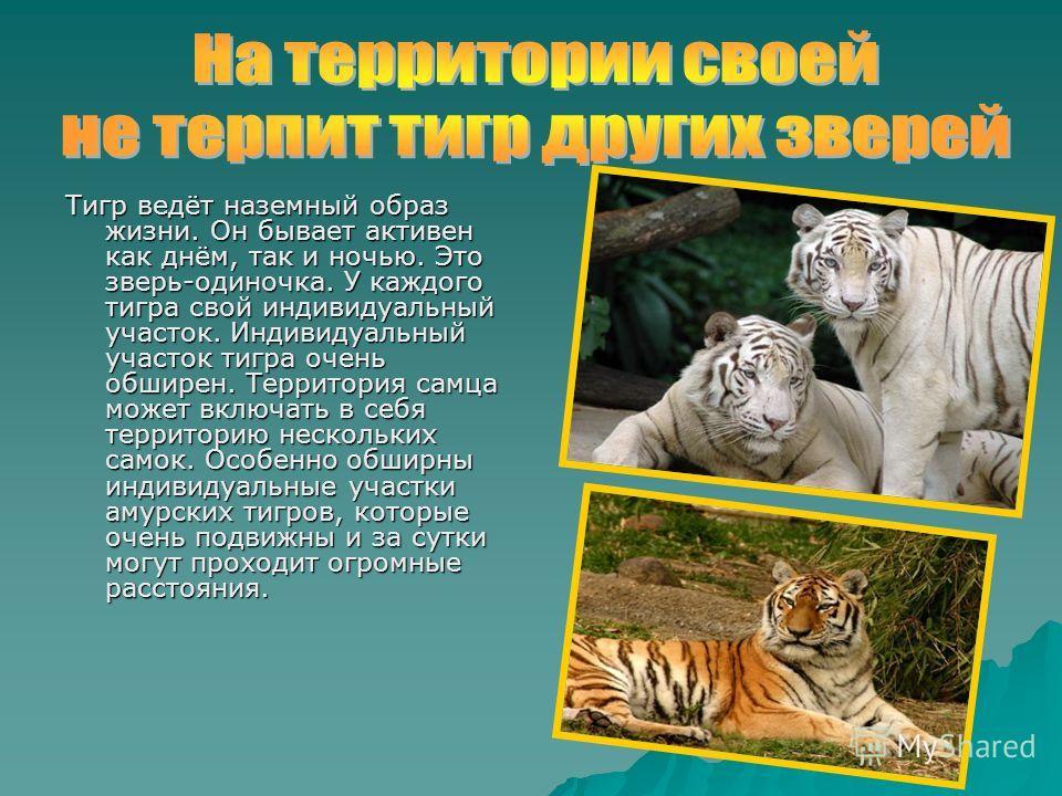 Тигр ведёт наземный образ жизни. Он бывает активен как днём, так и ночью. Это зверь-одиночка. У каждого тигра свой индивидуальный участок. Индивидуальный участок тигра очень обширен. Территория самца может включать в себя территорию нескольких самок.
