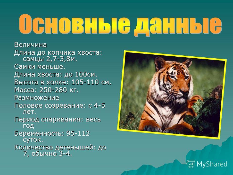 Величина Длина до копчика хвоста: самцы 2,7-3,8м. Самки меньше. Длина хвоста: до 100см. Высота в холке: 105-110 см. Масса: 250-280 кг. Размножение Половое созревание: с 4-5 лет. Период спаривания: весь год Беременность: 95-112 суток. Количество детен