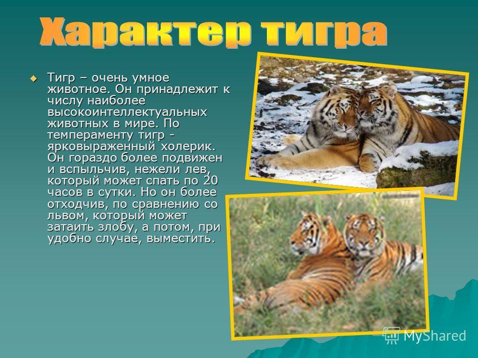 Тигр – очень умное животное. Он принадлежит к числу наиболее высокоинтеллектуальных животных в мире. По темпераменту тигр - ярковыраженный холерик. Он гораздо более подвижен и вспыльчив, нежели лев, который может спать по 20 часов в сутки. Но он боле
