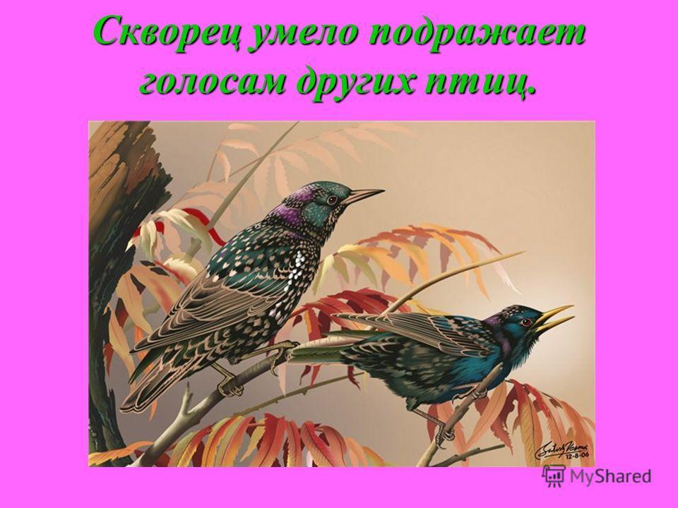 Скворец умело подражает голосам других птиц.
