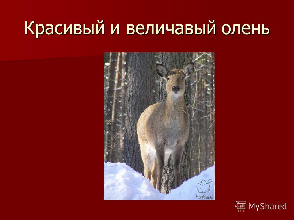 Красивый и величавый олень