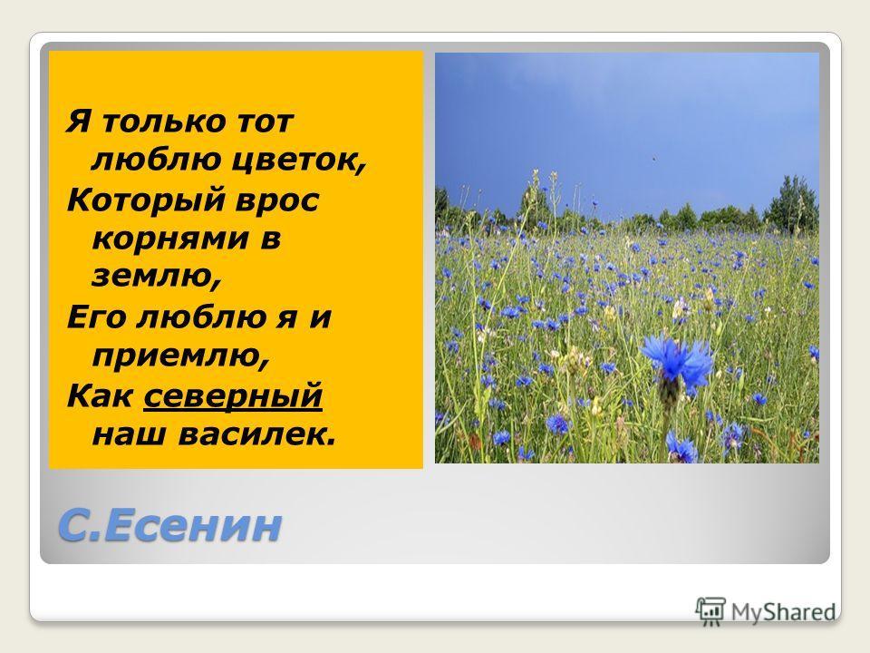 С.Есенин Я только тот люблю цветок, Который врос корнями в землю, Его люблю я и приемлю, Как северный наш василек.