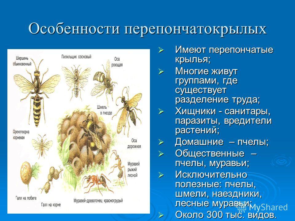 Особенности перепончатокрылых Имеют перепончатые крылья; Имеют перепончатые крылья; Многие живут группами, где существует разделение труда; Многие живут группами, где существует разделение труда; Хищники - санитары, паразиты, вредители растений; Хищн