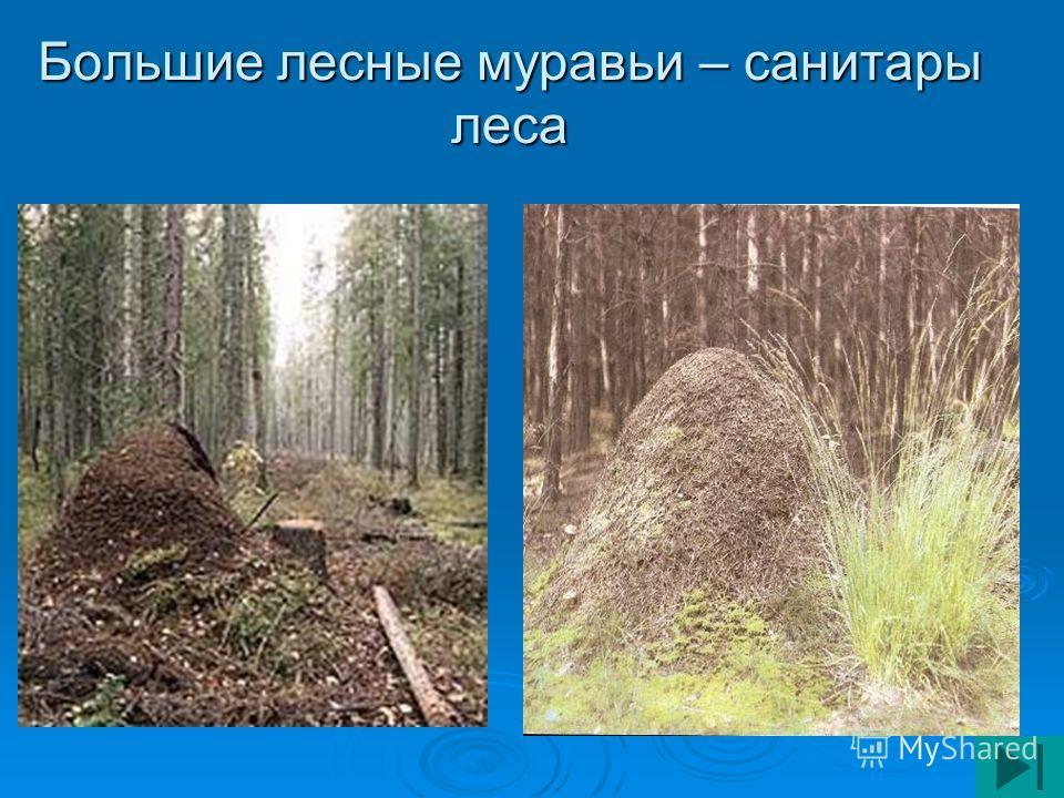 Большие лесные муравьи – санитары леса