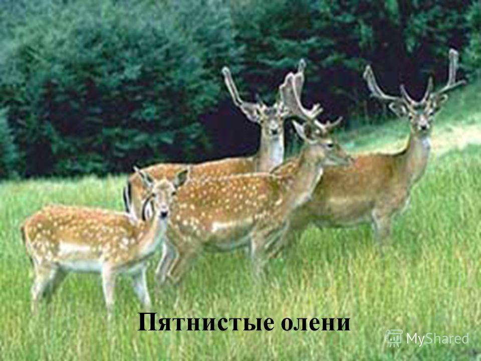 Пролеска Сибирская Красная Книга