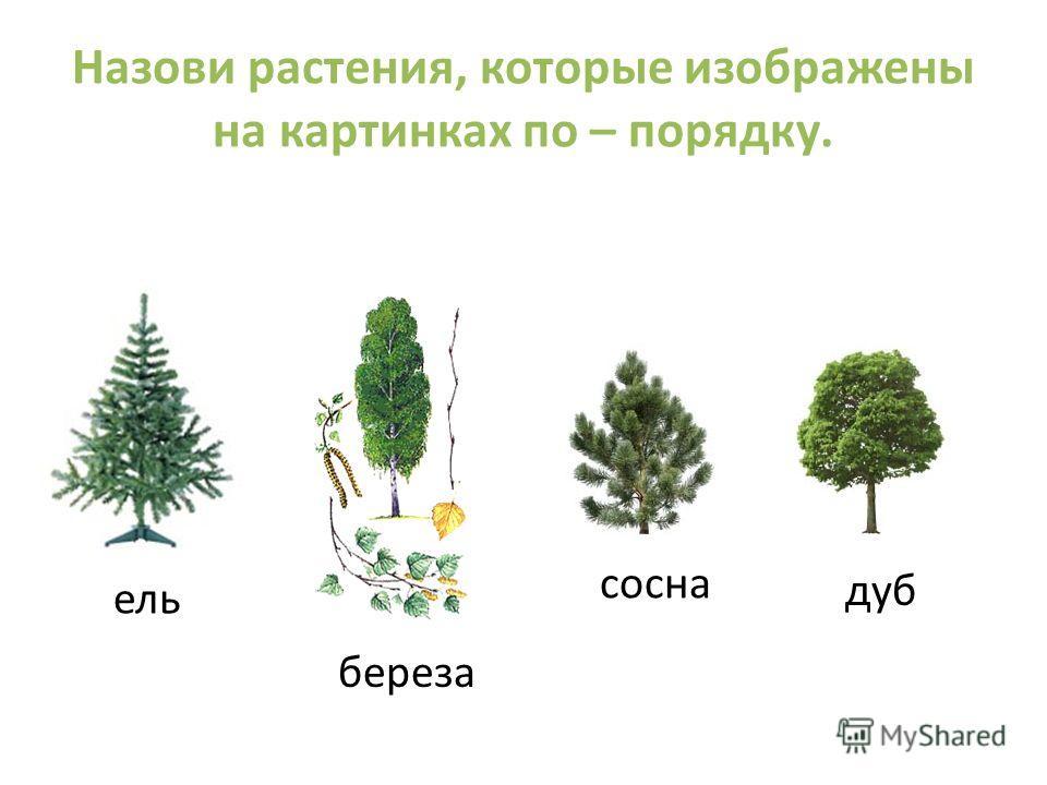 Назови растения, которые изображены на картинках по – порядку. ель береза сосна дуб