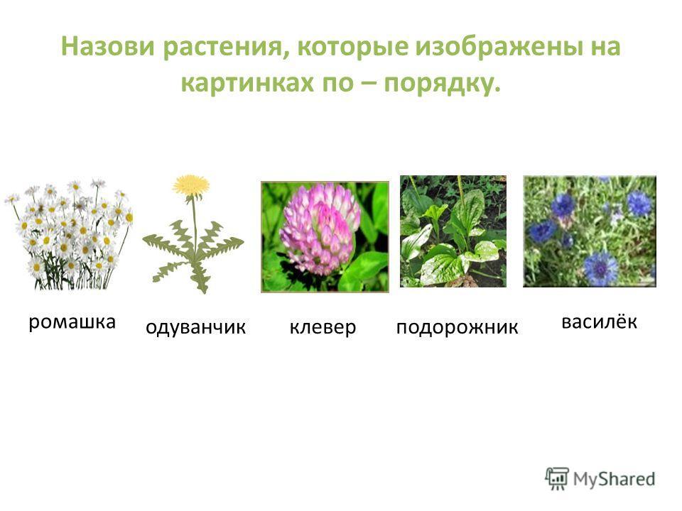 Назови растения, которые изображены на картинках по – порядку. ромашка одуванчикклеверподорожник василёк