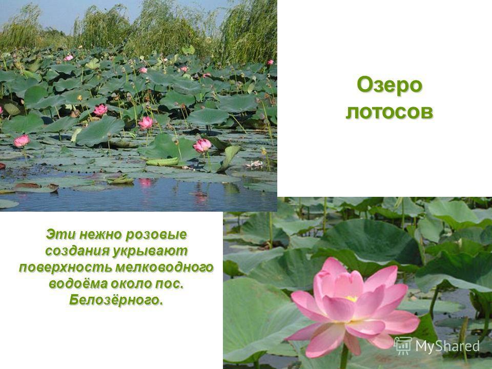 Озеролотосов Эти нежно розовые создания укрывают поверхность мелководного водоёма около пос. Белозёрного.