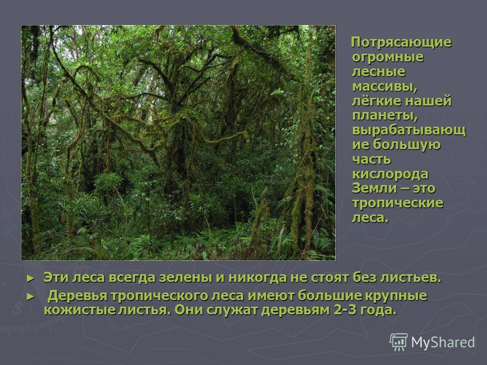 Потрясающие огромные лесные массивы, лёгкие нашей планеты, вырабатывающ ие большую часть кислорода Земли – это тропические леса. Потрясающие огромные лесные массивы, лёгкие нашей планеты, вырабатывающ ие большую часть кислорода Земли – это тропически