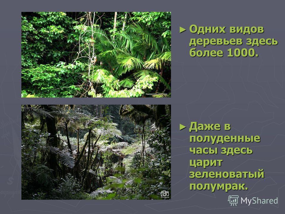 Одних видов деревьев здесь более 1000. Одних видов деревьев здесь более 1000. Даже в полуденные часы здесь царит зеленоватый полумрак. Даже в полуденные часы здесь царит зеленоватый полумрак.