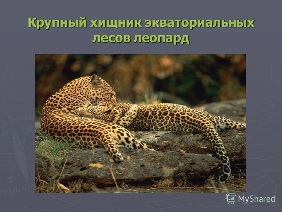 Крупный хищник экваториальных лесов леопард
