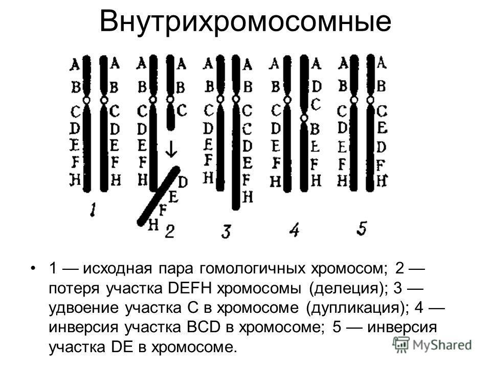 Внутрихромосомные 1 исходная пара гомологичных хромосом; 2 потеря участка DEFH хромосомы (делеция); 3 удвоение участка С в хромосоме (дупликация); 4 инверсия участка BCD в хромосоме; 5 инверсия участка DE в хромосоме.