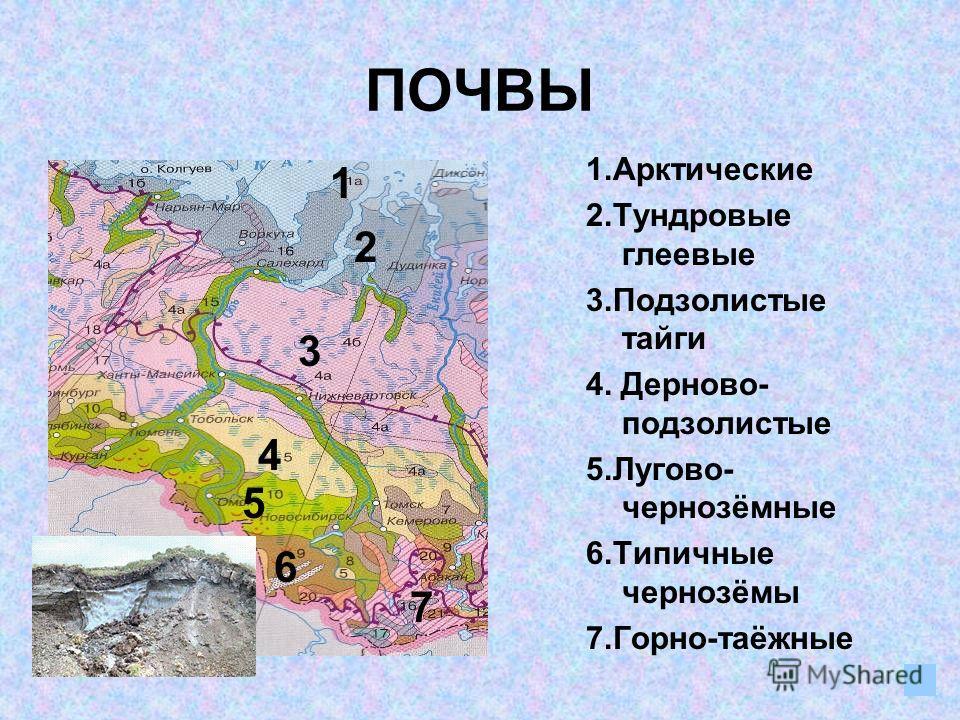ПОЧВЫ 1.Арктические 2.Тундровые глеевые 3.Подзолистые тайги 4. Дерново- подзолистые 5.Лугово- чернозёмные 6.Типичные чернозёмы 7.Горно-таёжные 1 2 3 4 5 6 7