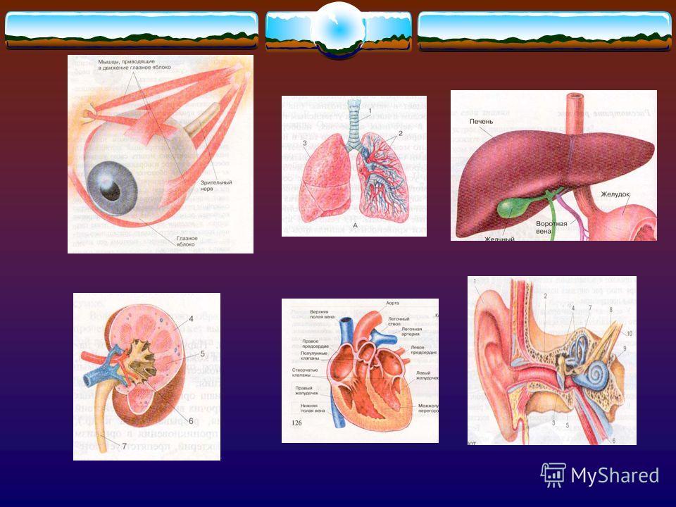 Органы Орган – это часть тела, имеющая определенную форму и строение, занимающая в организме определенное место и выполняющая определенную функцию.