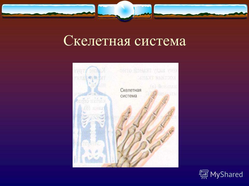 Системы органов Скелетная Мышечная Мочевыделительная Кровеносная Дыхательная Пищеварительная Половая Нервная