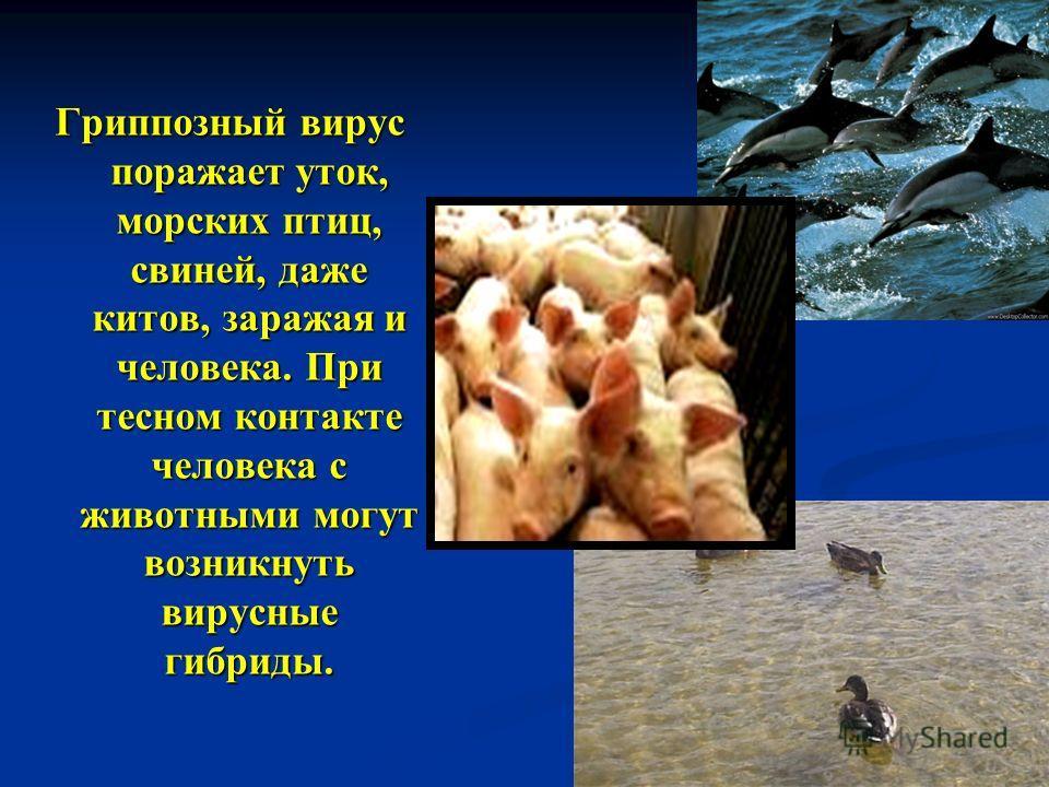 Гриппозный вирус поражает уток, морских птиц, свиней, даже китов, заражая и человека. При тесном контакте человека с животными могут возникнуть вирусные гибриды.