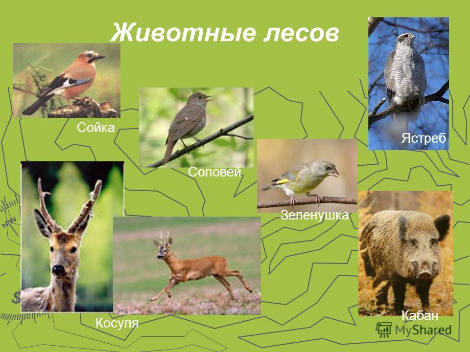 Животные лесов Ястреб Кабан Косуля Сойка Соловей Зеленушка