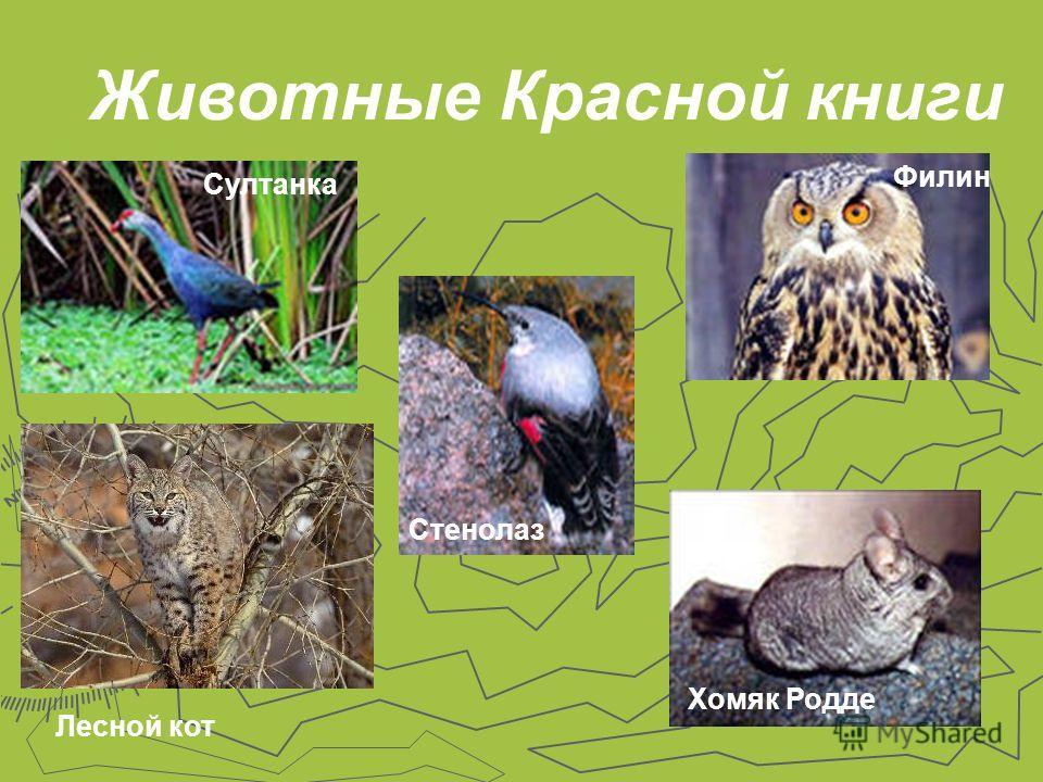 Животные Красной книги Султанка Стенолаз Филин Лесной кот Хомяк Родде