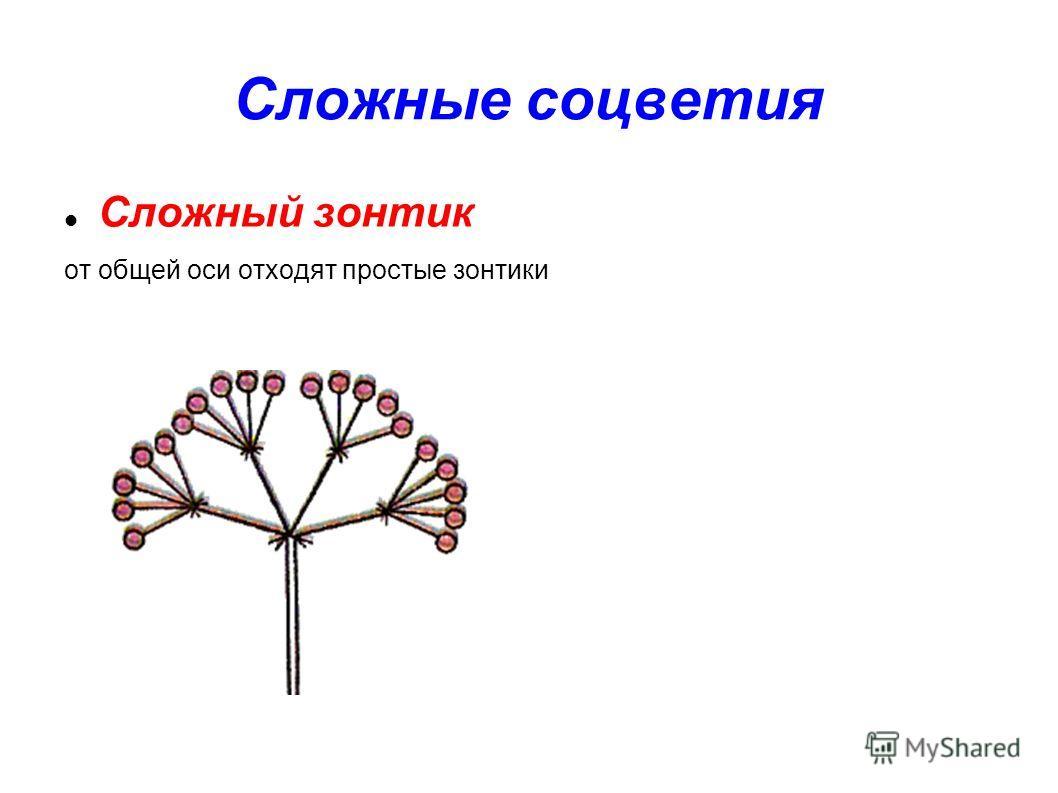 Сложные соцветия Сложный зонтик от общей оси отходят простые зонтики