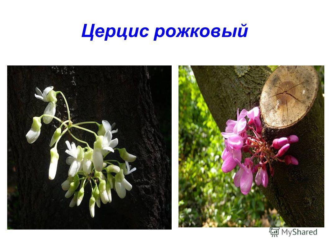 Церцис рожковый