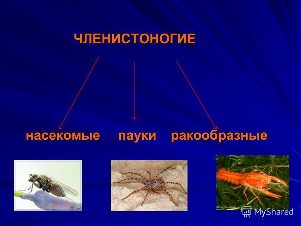 ЧЛЕНИСТОНОГИЕ ЧЛЕНИСТОНОГИЕ насекомые пауки ракообразные насекомые пауки ракообразные