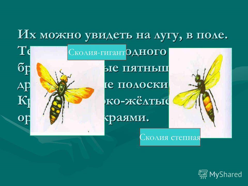 Этот вид находится на грани исчезновения. На ней можно увидеть : передние крылышки жёлто-зелёные, задние красные, с чёрными пятнышками и жёлтыми лучиками.Этот вид находится на грани исчезновения. На ней можно увидеть : передние крылышки жёлто-зелёные