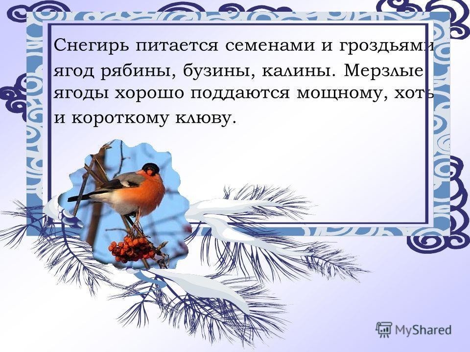 Снегирь питается семенами и гроздьями ягод рябины, бузины, калины. Мерзлые ягоды хорошо поддаются мощному, хоть и короткому клюву.
