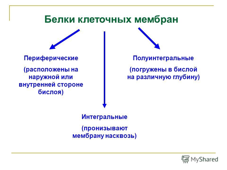 Белки клеточных мембран Полуинтегральные (погружены в бислой на различную глубину) Периферические (расположены на наружной или внутренней стороне бислоя) Интегральные (пронизывают мембрану насквозь)