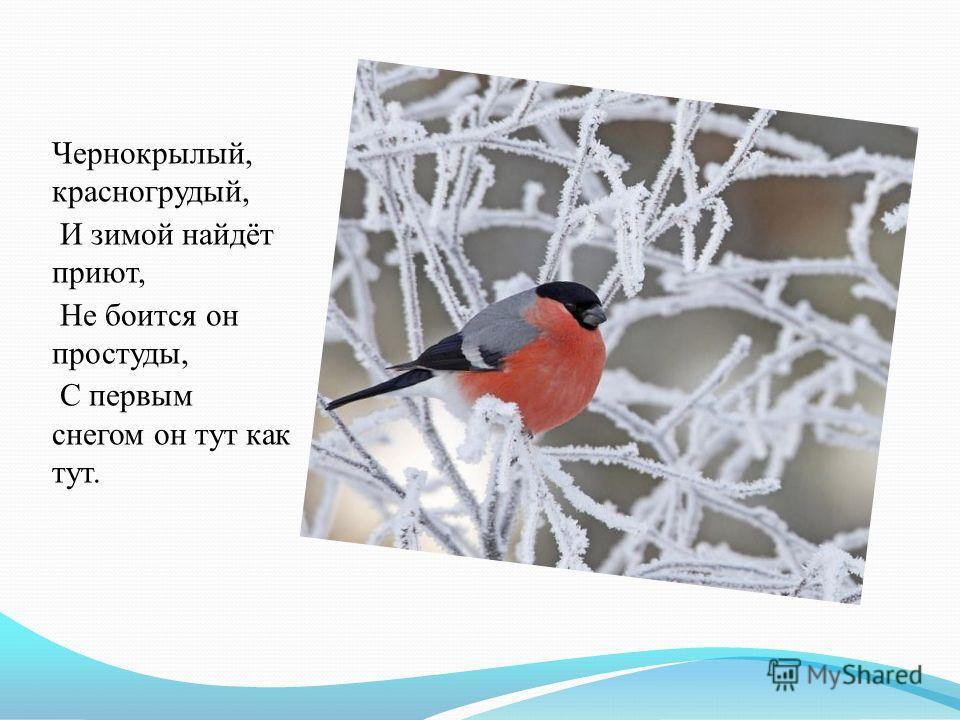 Чернокрылый, красногрудый, И зимой найдёт приют, Не боится он простуды, С первым снегом он тут как тут.