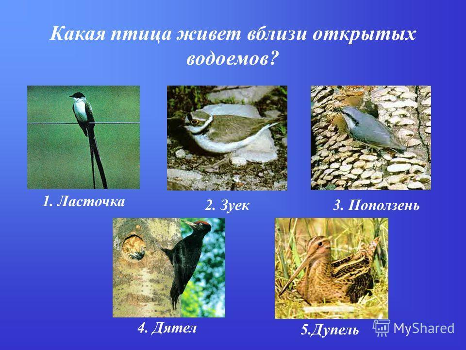 Какая птица живет вблизи открытых водоемов? 1. Ласточка 2. Зуек3. Поползень 4. Дятел 5.Дупель