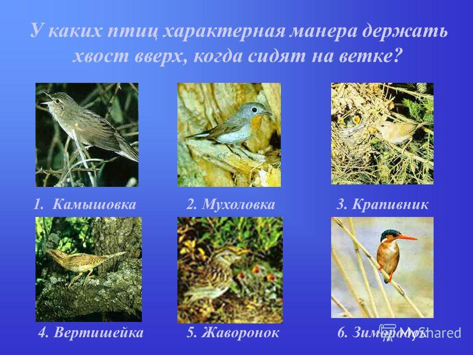 У каких птиц характерная манера держать хвост вверх, когда сидят на ветке? 1. Камышовка2. Мухоловка3. Крапивник 5. Жаворонок4. Вертишейка6. Зимородок