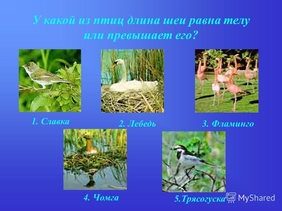 У какой из птиц длина шеи равна телу или превышает его? 1. Славка 2. Лебедь3. Фламинго 4. Чомга 5.Трясогуска