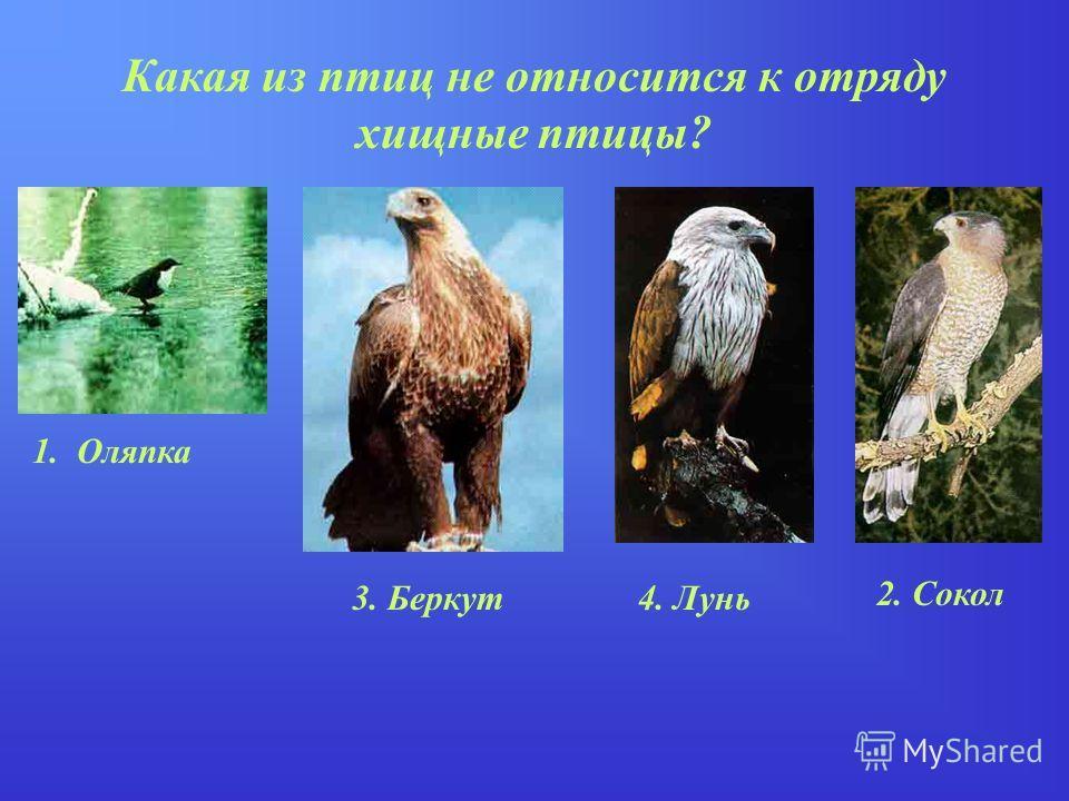 Какая из птиц не относится к отряду хищные птицы? 1. Оляпка 2. Сокол 4. Лунь3. Беркут