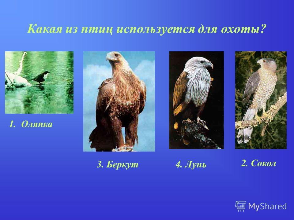 Какая из птиц используется для охоты? 1. Оляпка 2. Сокол 4. Лунь3. Беркут