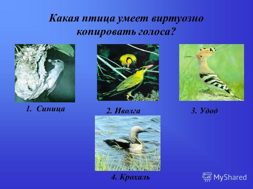 Какая птица умеет виртуозно копировать голоса? 1. Синица 2. Иволга3. Удод 4. Крохаль