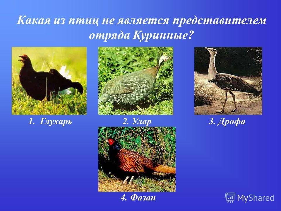 Какая из птиц не является представителем отряда Куринные? 1. Глухарь2. Улар3. Дрофа 4. Фазан