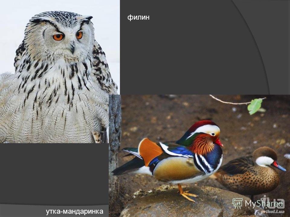 филин утка-мандаринка