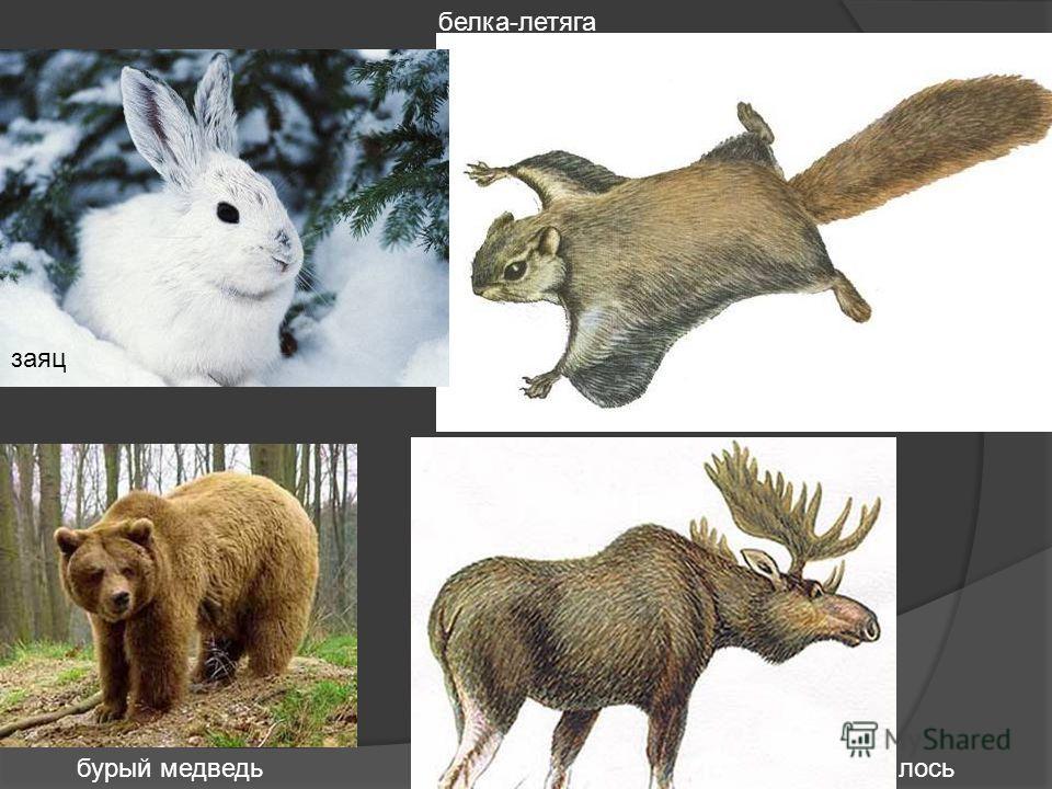 белка-летяга бурый медведьлось заяц